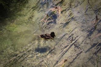 As águas límpidas dão a impressão de que o pato está flutuando no ar