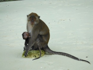 Familia macaco